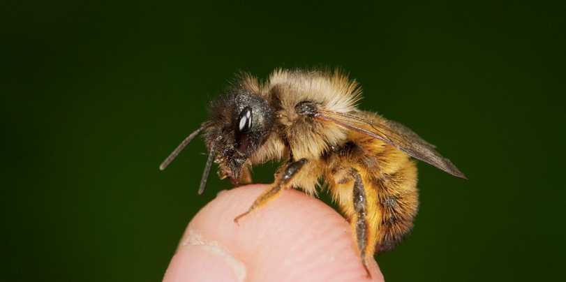 Bildergebnis für wildbiene
