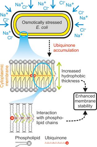 Wie Salzstress die Membran verändert | ETH Zürich