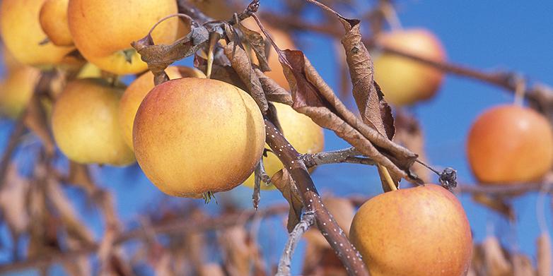 Das Bakterium Erwinia amylovora einen Apfelbaum befallen und die Blätter verdorren lassen. (Bild: Peggy Greb via wikimedia commons)