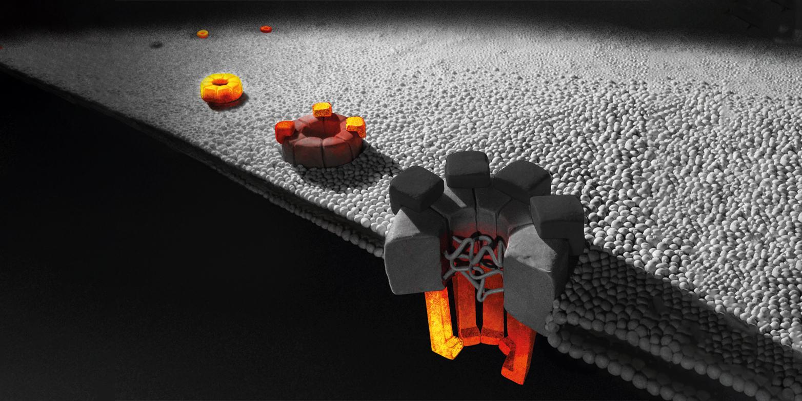 Die teilweise in Entstehung begriffenen Kernporenkomplexe (orange Strukturen) gehören zu den grössten Proteinkomplexen einer Zelle. (Grafik: Olga V Posukh, Institute of Molecular and Cellular Biology, Novosibirsk)