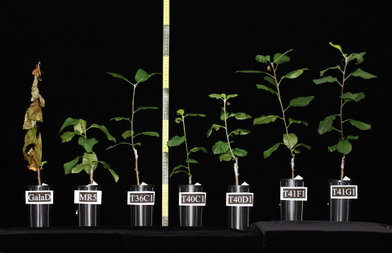 An apple tree of the variety Gala (left) dies upon infection with fire-blight, while trees were a resistance gene had been added are able to ward the pathogen off. (Photo: Courtesy C. Gessler / ETH Zurich)