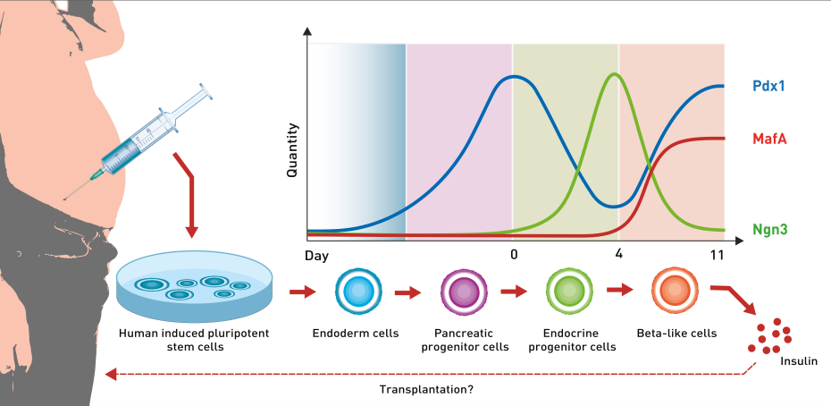 The diagram shows the dynamics of the most important growth factors during cell differentiation. (Graphics: ETH Zurich)