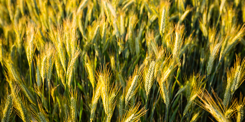 wheat thesis