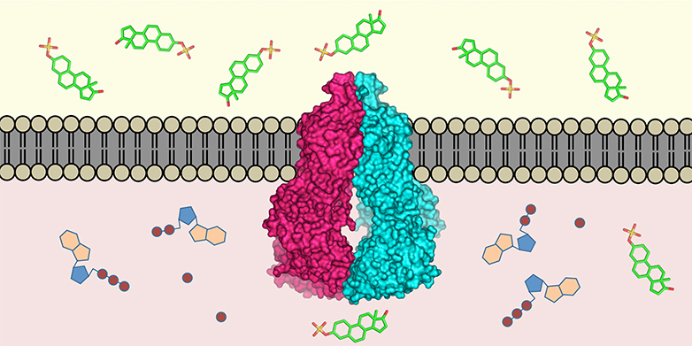 The transport protein ABCG2 (centre) is embedded in the cell membrane. It recognises over 200 substances in the cell interior (below) and transports them outside (above). (Visualisations: ETH Zurich / Scott Jackson, Ioannis Manolaridis, Kaspar Locher)