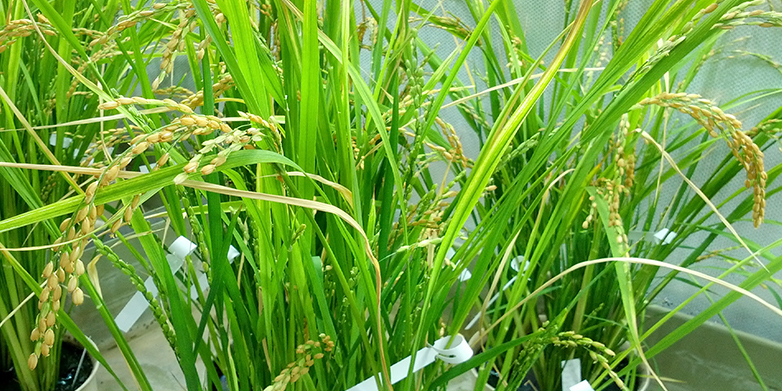 The new rice line in the greenhouse can supply rice consumers with three essential micronutrients in the future. (Image: ETH Zurich / courtesy of Navreet Bhullar)