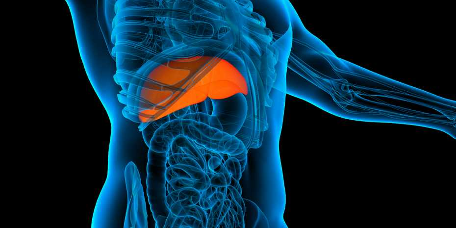 New regulator for liver regeneration | ETH Zurich