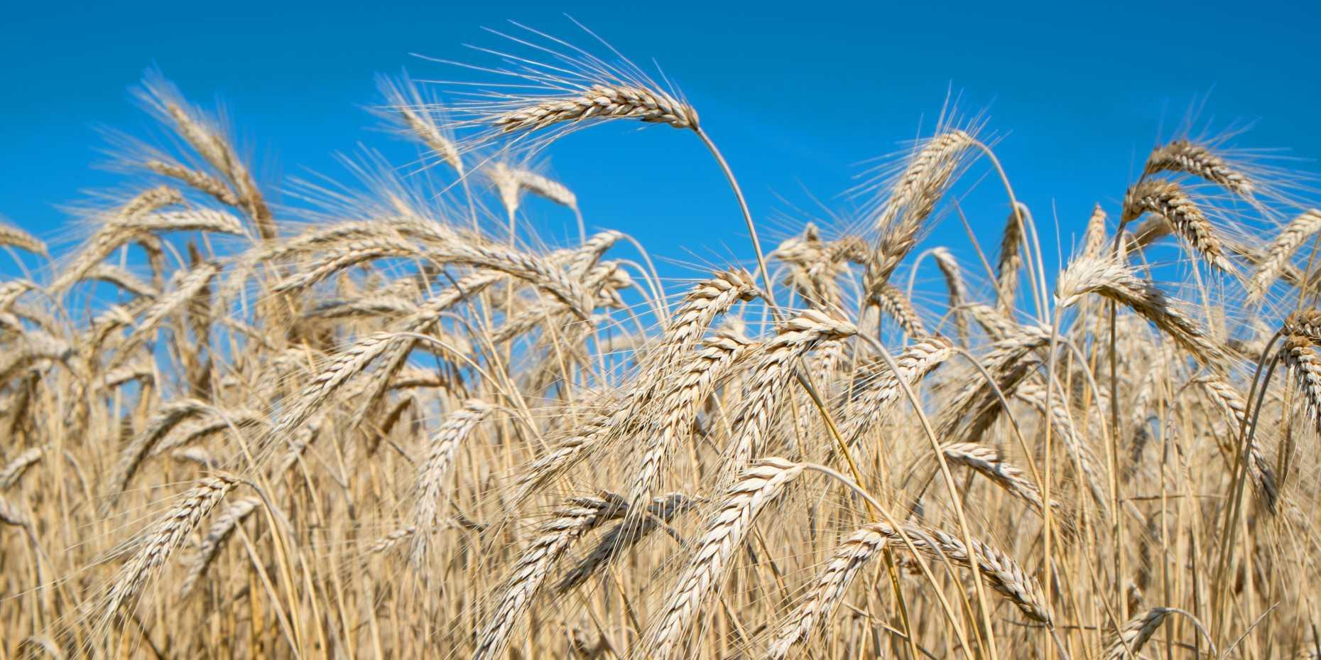 Wheat (Image: Byjeng / iStock)