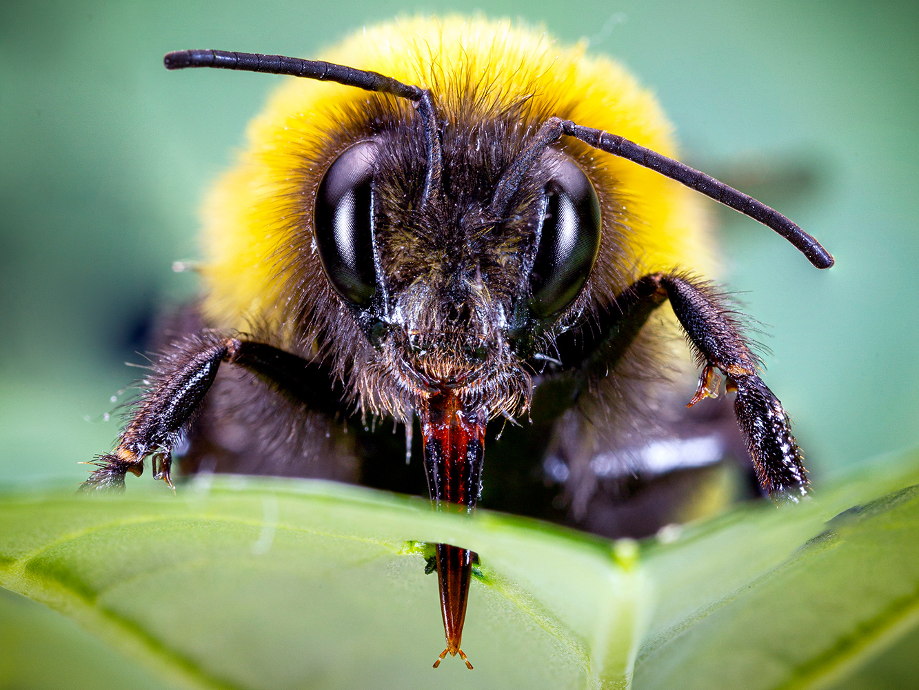 When plant pollen scarce, bumblebees biting leaves causes flowers to bloom early