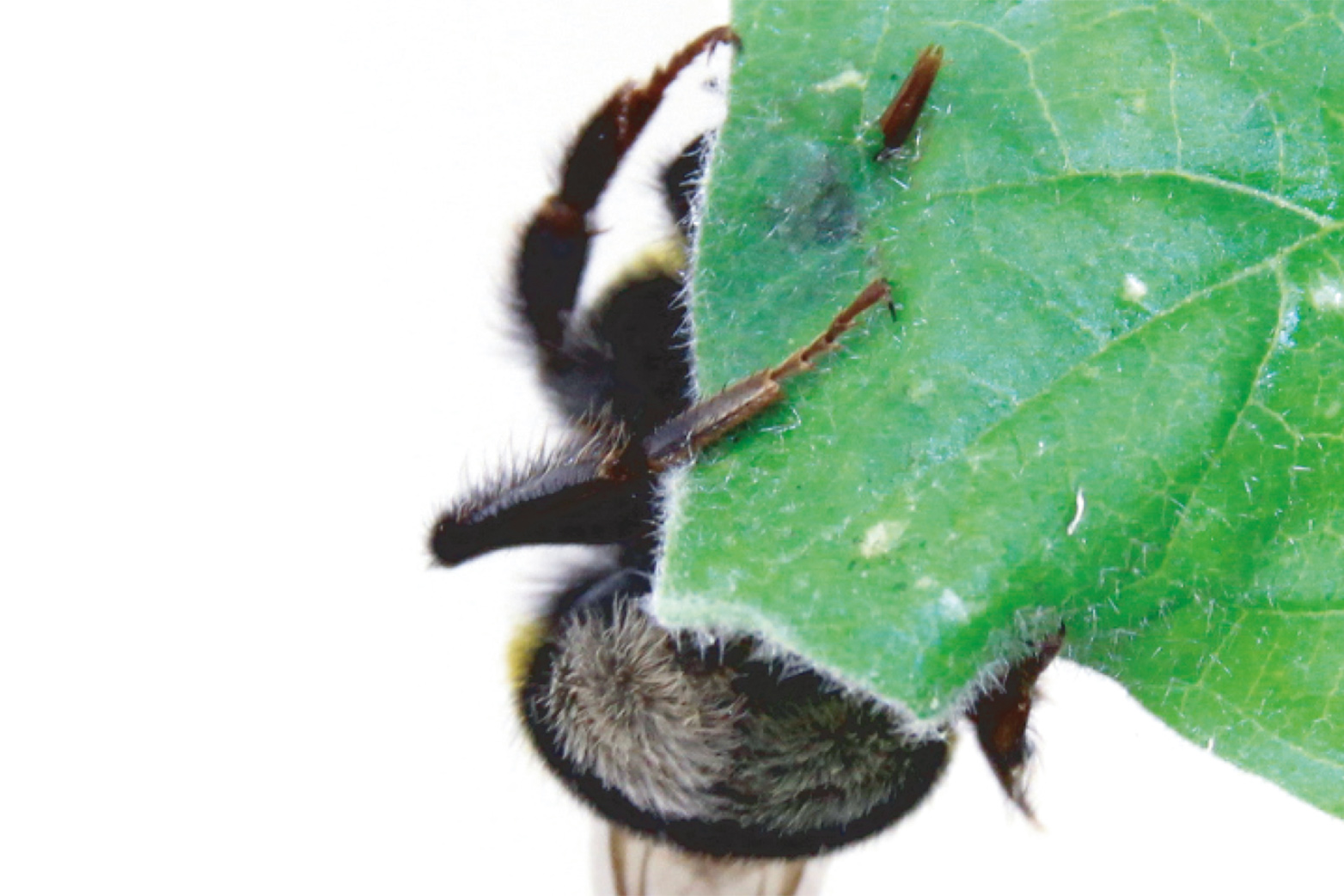 A bumblebee pierces a leaf with its tongue