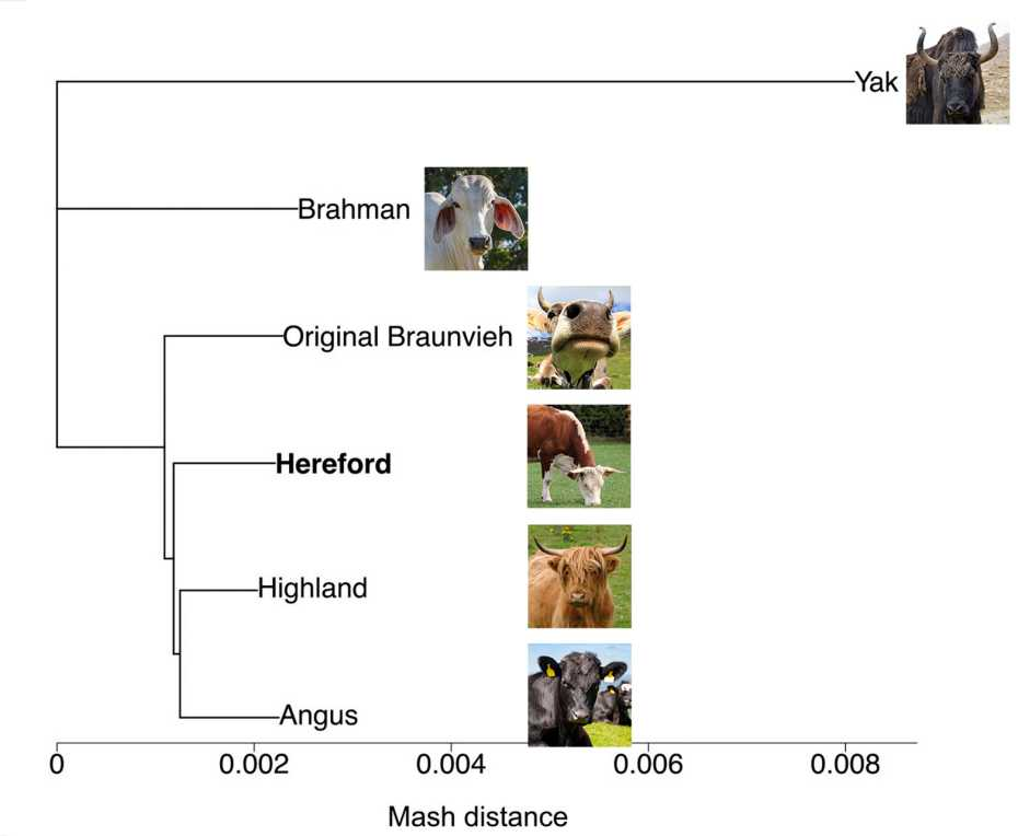 Family tree of cattle