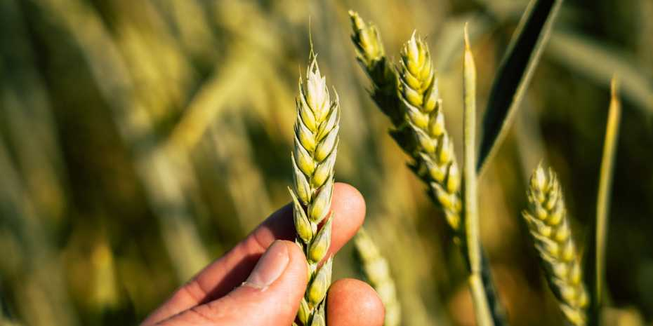 A hand holding wheat plant